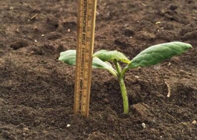 AGRARIUS - Ölkürbispflanze