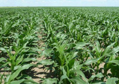 Mais in der Entwicklung des Haupttriebes