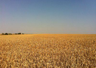 Weizen - kurz vor der Ernte